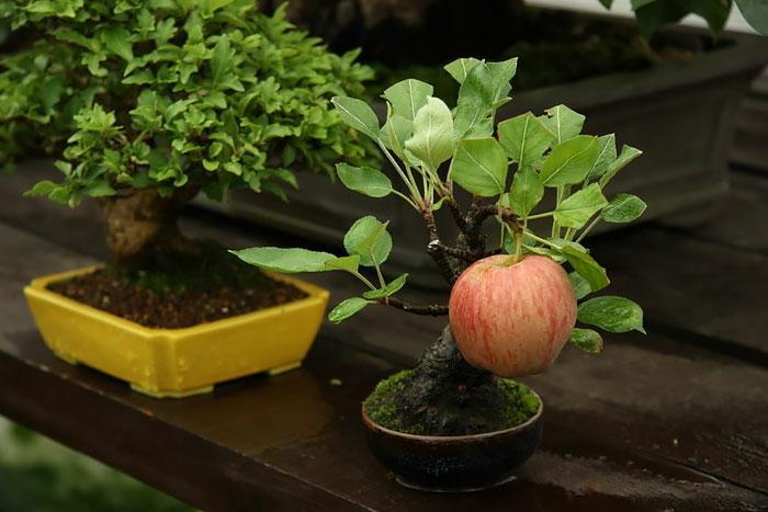 bonsai bäume apfelbaum frucht porzellan blumentöpfe