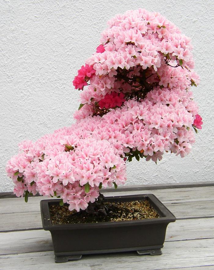 bonsai bäume azallee blüten rosa
