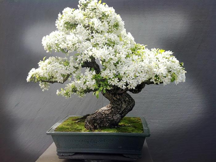 bonsai bäume blüten weiß keramik blumentopf