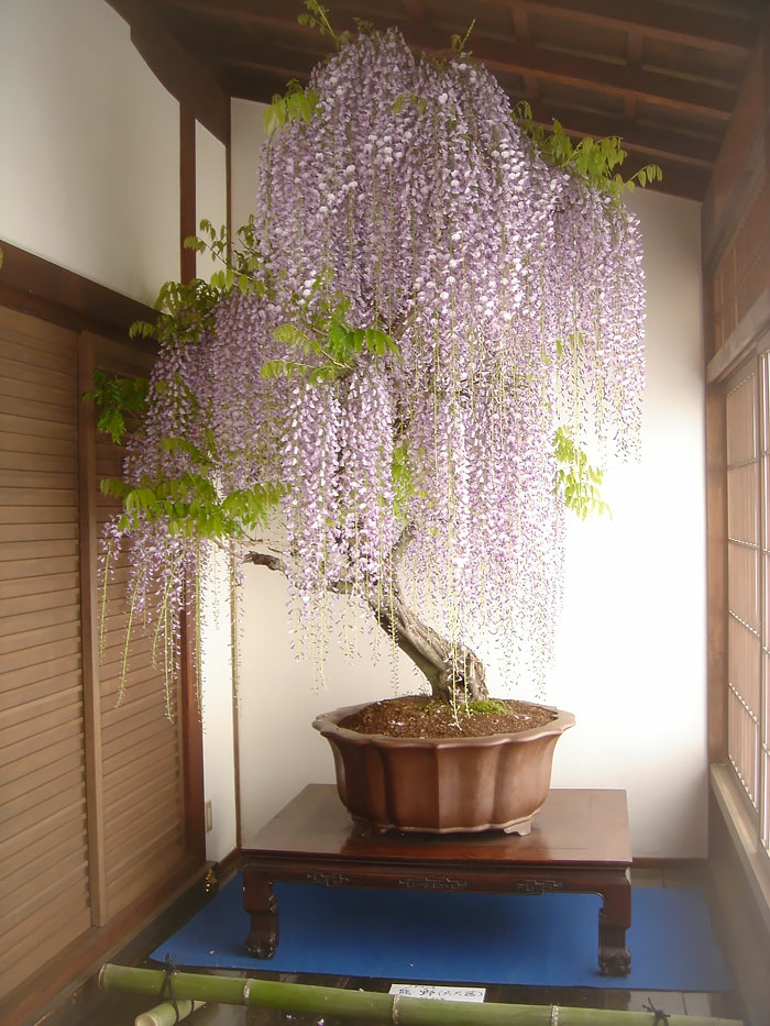 bonsai bäume blauregen bambus fensterjelousien