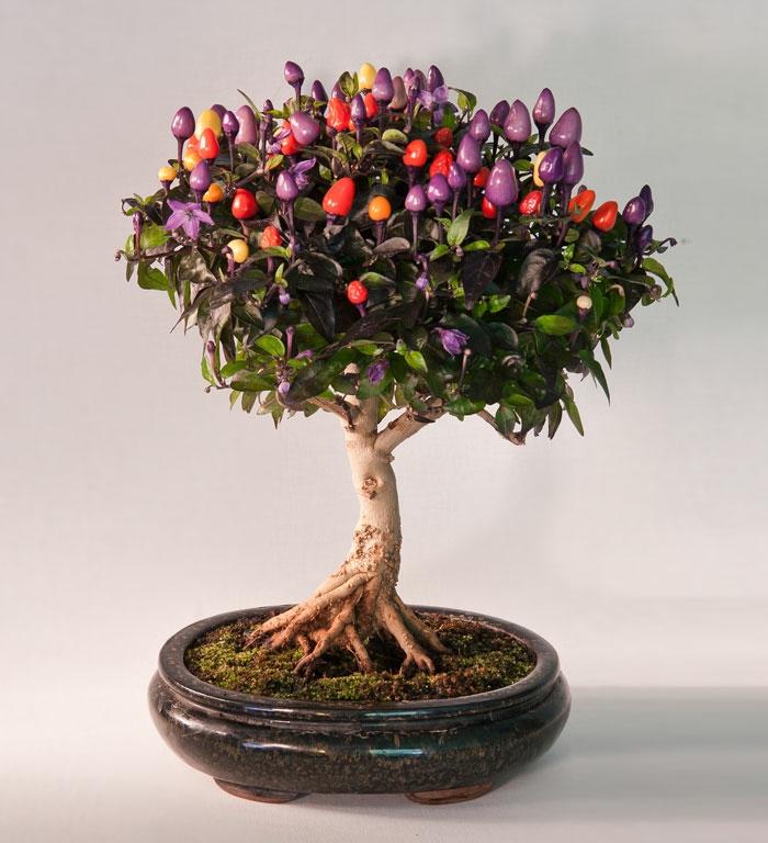 bonsai bäume chili baum mini runder blumentopf keramik