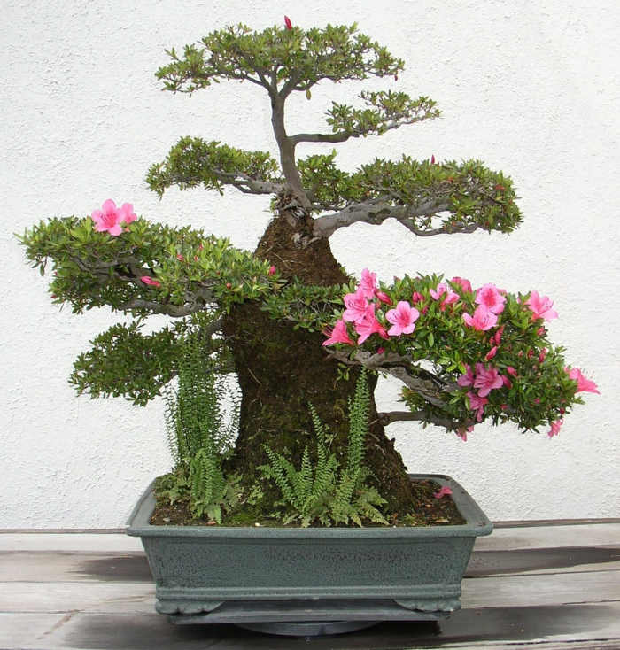 bonsai bäume exotische blüten azaleen farn keramik pflanzkübe