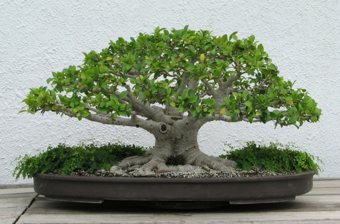bonsai bäume kleiner baum pflanzbehälter