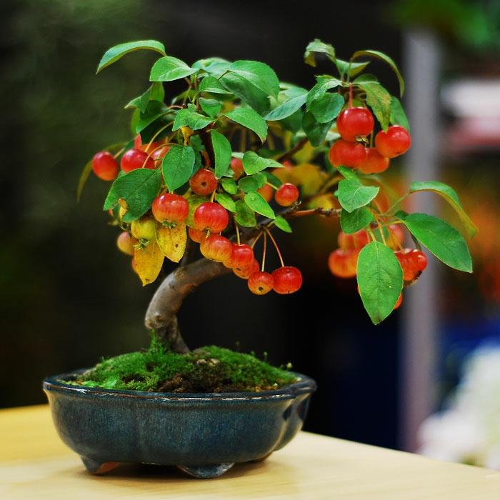 bonsai bäume mini apfelbaum äpfel
