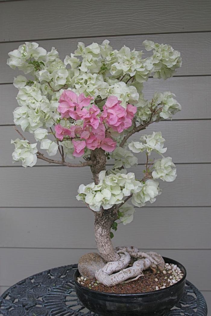 bonsai baum mini baum exotisch