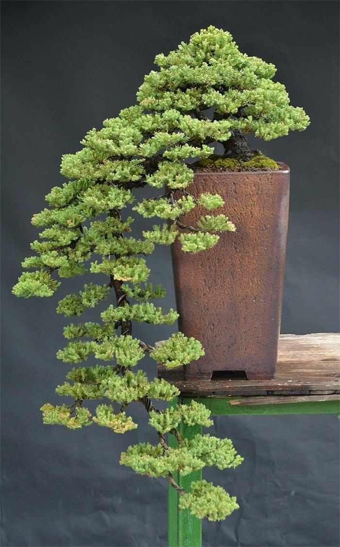 bonsai bäume mini nadelbaum keramik pflanzkübel