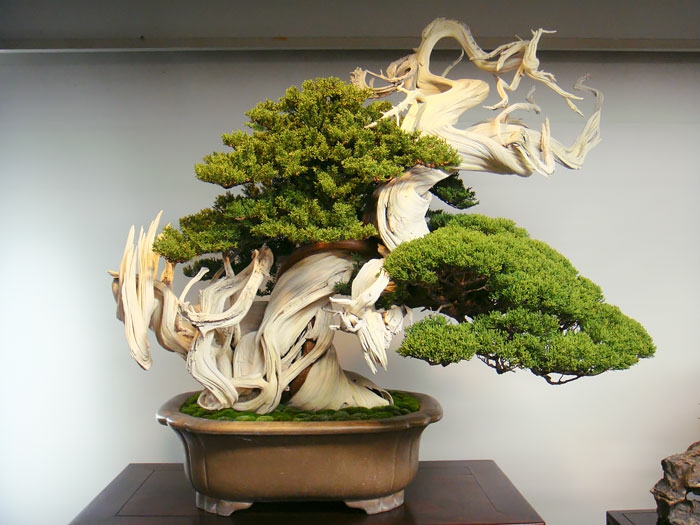 bonsai baum nadelbäume kiefer porzellan tischdekoration