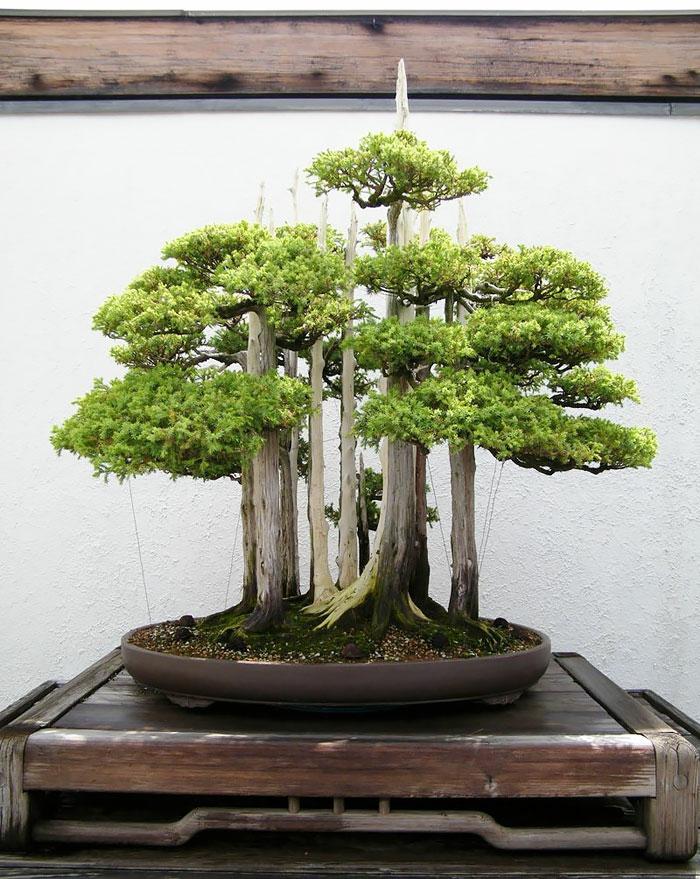 bonsai baum nadelbäume mini wald runder keramik blumentopf