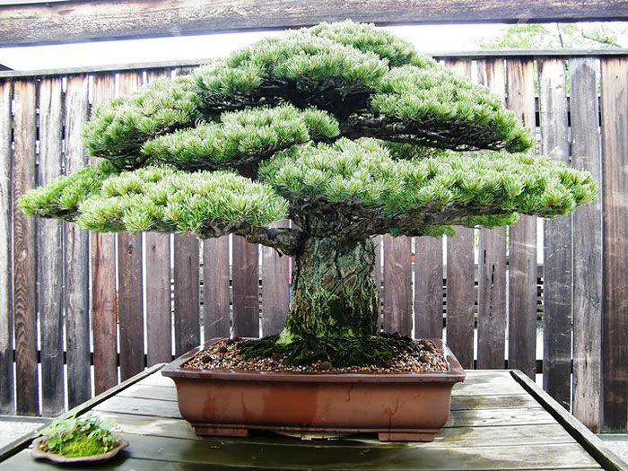 bonsai bäume nadelbaum hiroshima