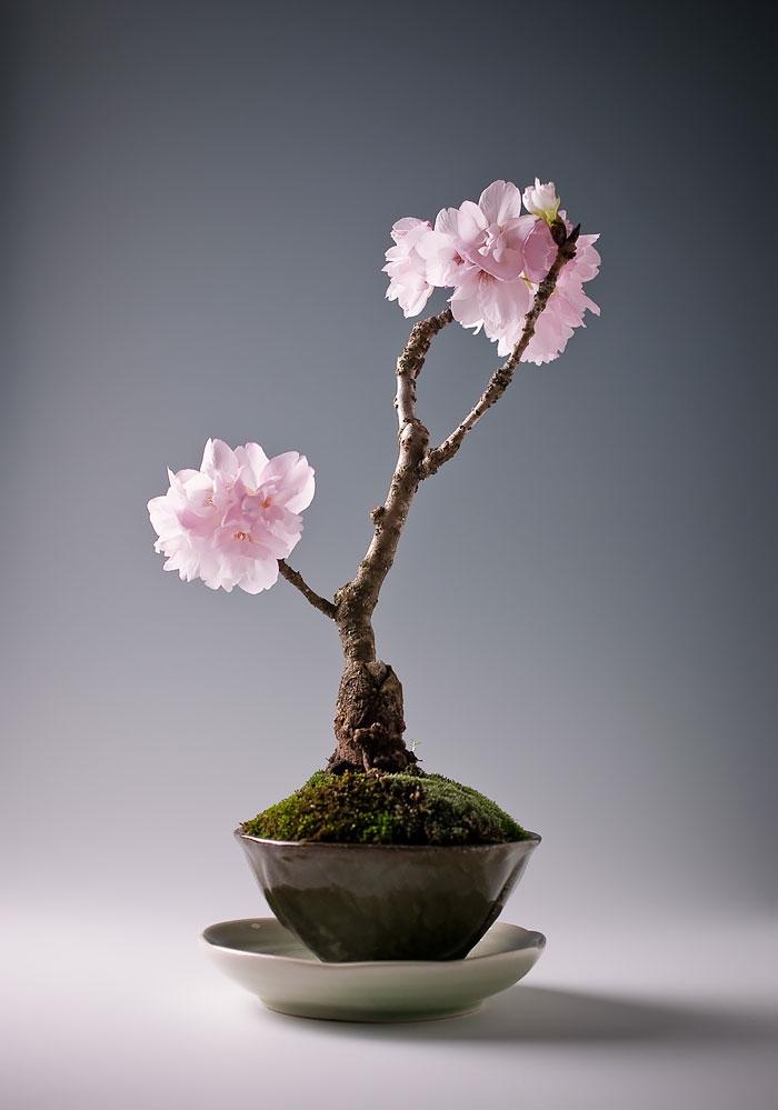 bonsai bäume sakura kirschbaum mini rosa blüten