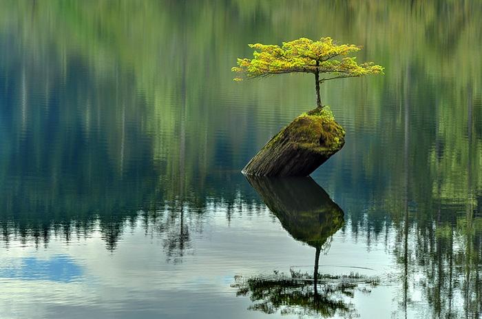 bonsai baum see bergen nadelbaum