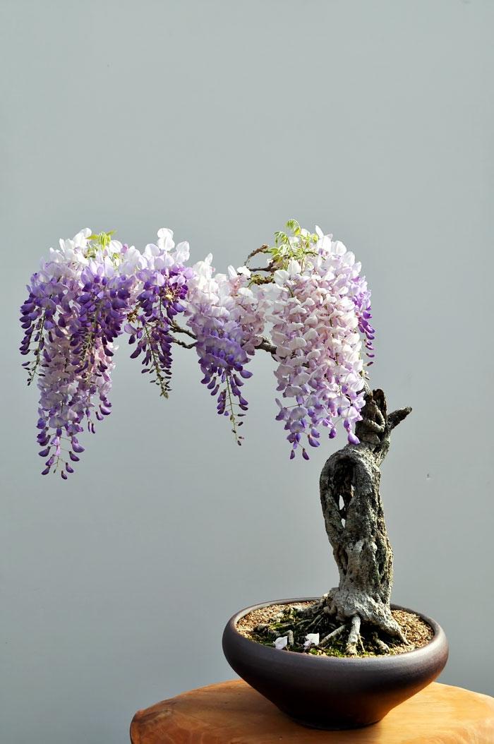 bonsai bäume wisteria blauregen mini baum
