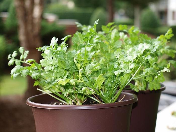 gewürze liste koriander gartrenideen pflanzen gewürze