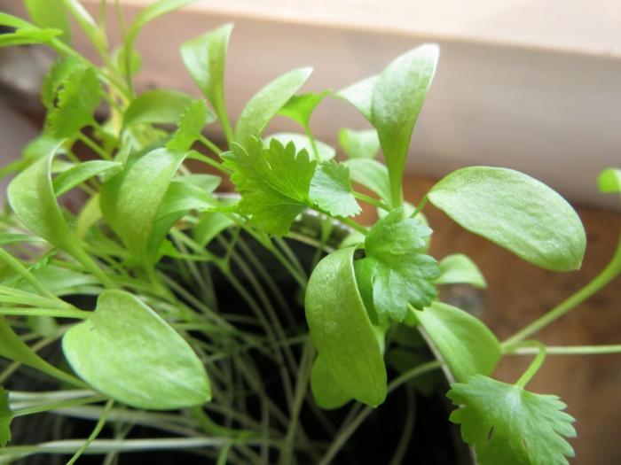 koriander pflanzen gewürze gesundes essen lifestyle