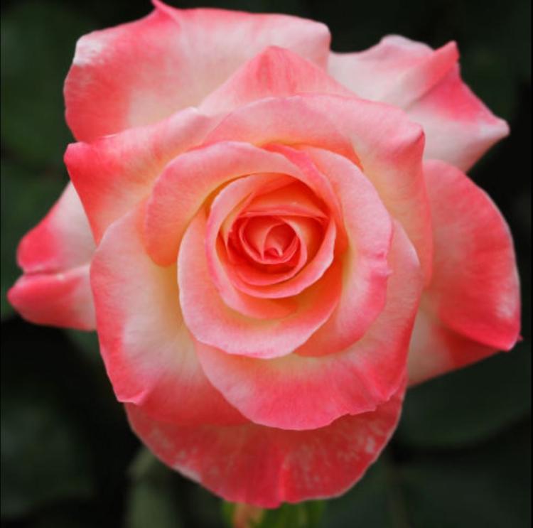 Botanische Namen Diana Princess of Wales Rose