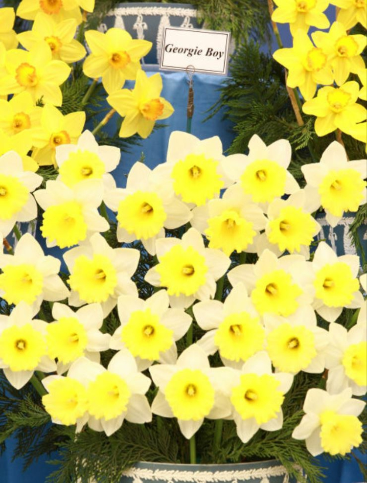 Botanische Namen Georgie Boy Daffodil