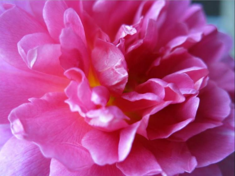 Botanische Namen Princess Anne Rose