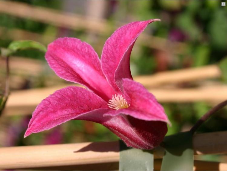 Botanische Namen Princess Diana Clematis