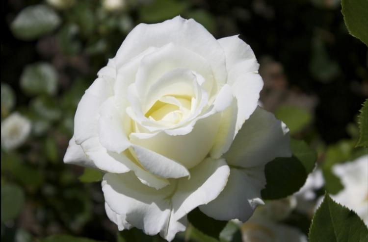 Botanische Namen Princess of Wales Rose