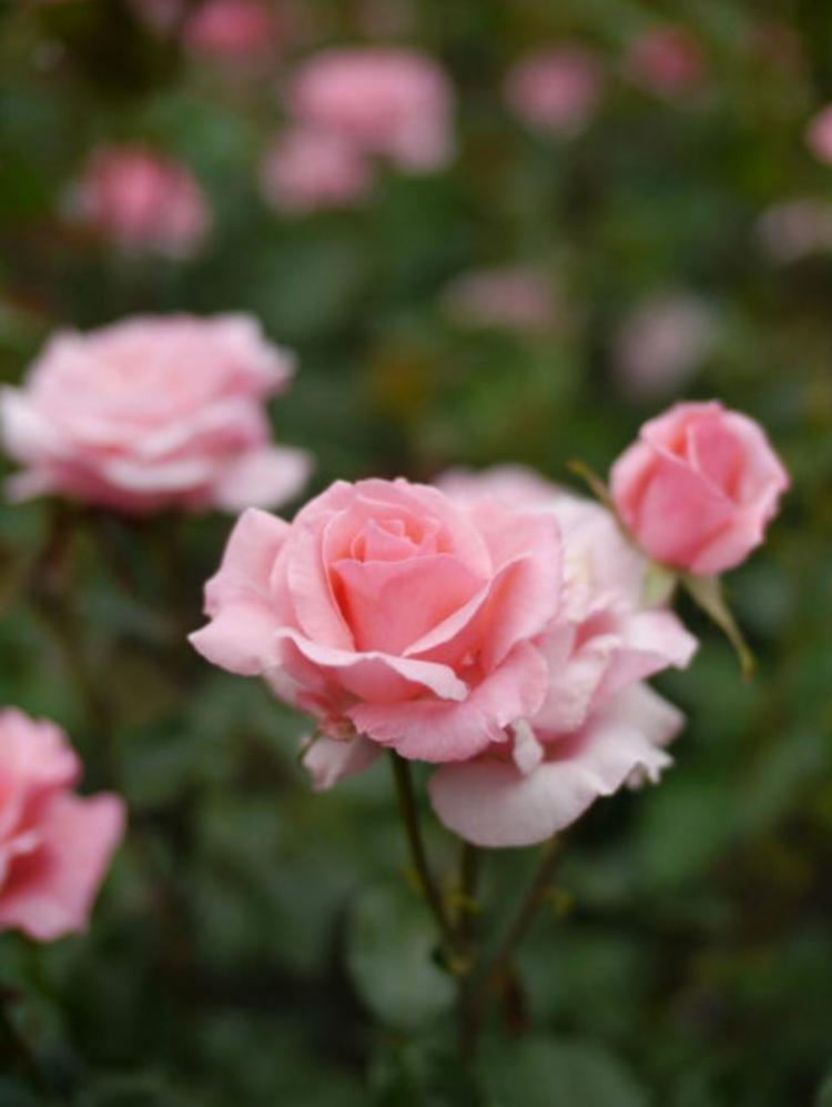 Botanische Namen Queen Elizabeth Rose