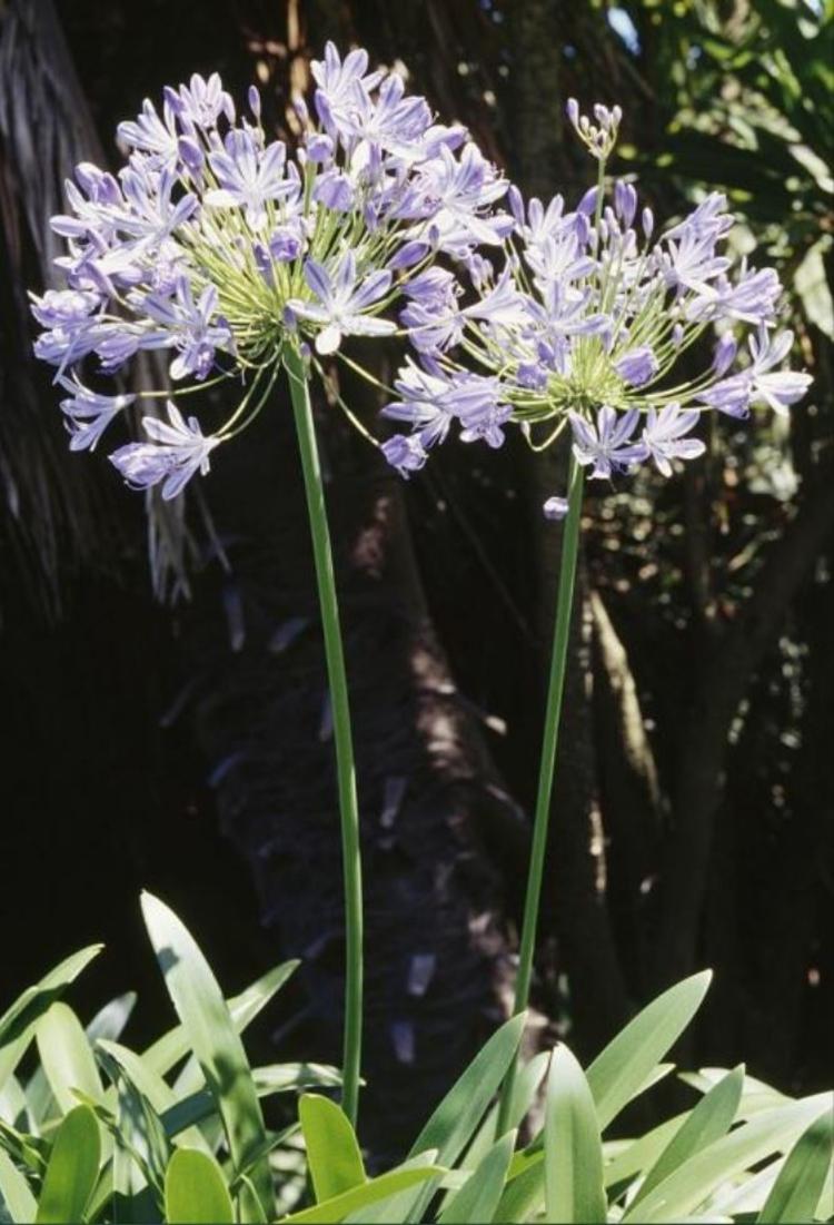 Botanische Namen Queen Mum Agapanthus