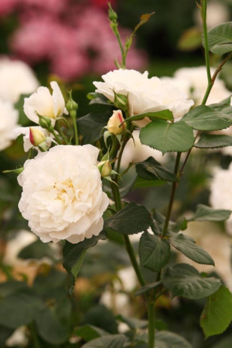 Botanische Namen William and Catherine Rose