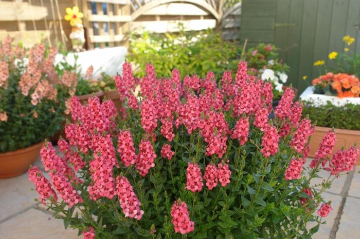 balkonpflanzen elfensporn diascia pinke blüten