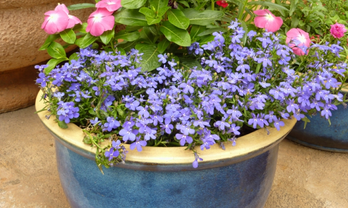 gartenpflanzen halb schattig männertreu lobelia erinus blaue blüten