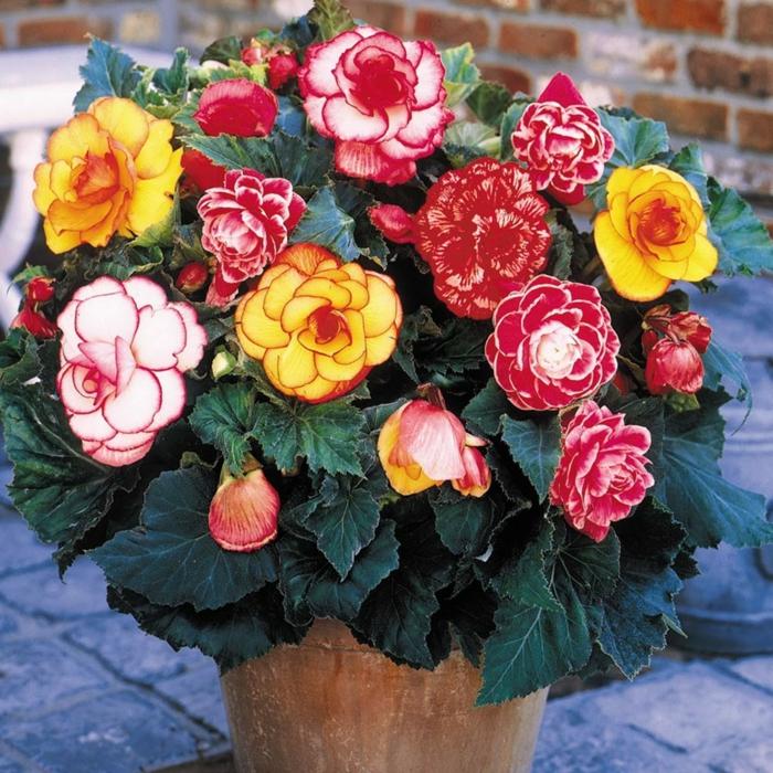 gartenpflanzen halbschattig begonien bunte blüten blumentopf keramik