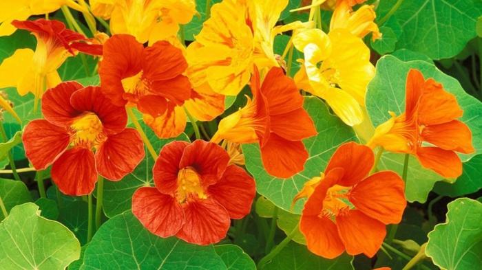 balkonpflanzen kapuzinerkresse tropaeolum majus gelb orange blüten