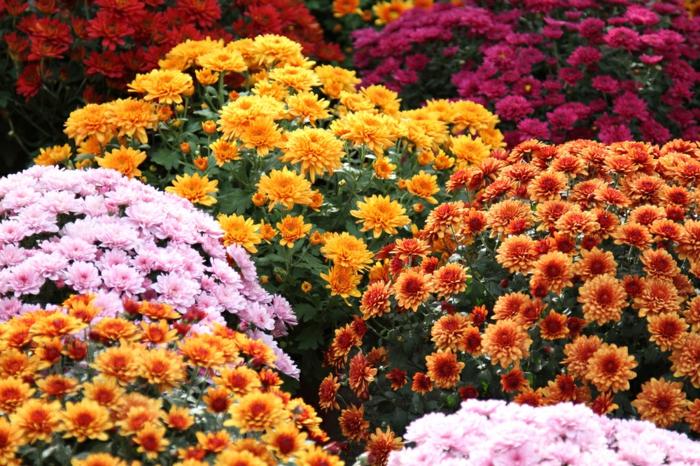gartenpflanzen schattig chrysanthemen bunte blüten topfblumen