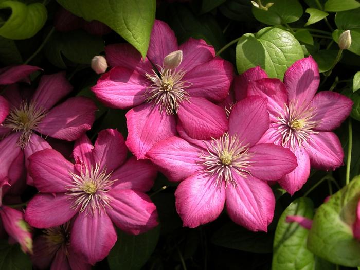 balkonpflanzen sonnig clematis hybride pinke blüten kletterpflanze