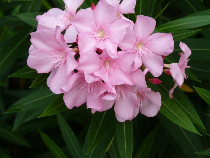 balkonpflanzen sonnig nerium oleander rosa blüten