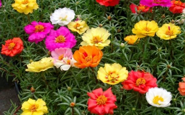balkonpflanzen-sonnig-portulaca-grandflora-bunte-blüten