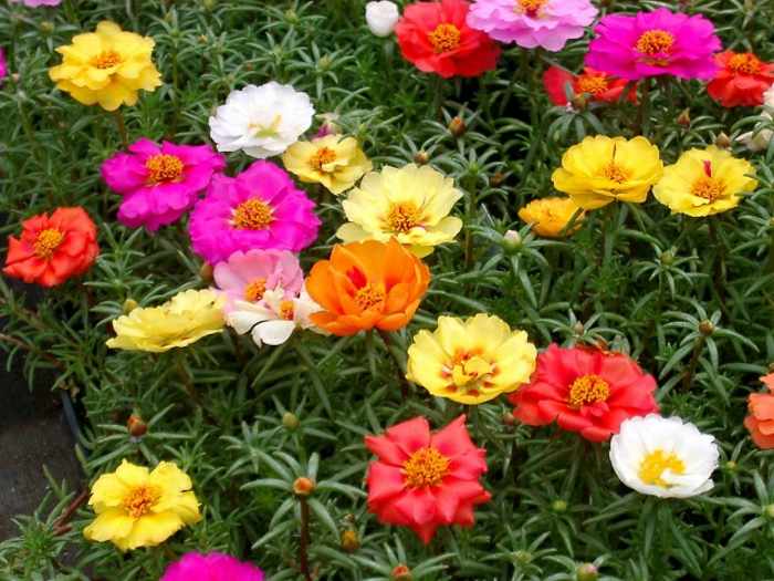 balkonpflanzen sonnig portulaca grandflora bunte blüten