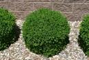garten-gestalten-bilder-immergrüne-pflanzen-kieselsteine-gartenideen