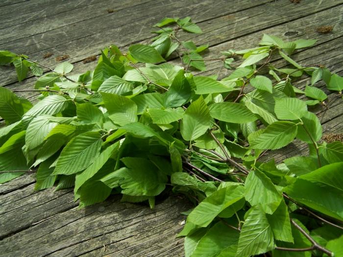 tee gesund birkentee birkenblätter gesundes essen