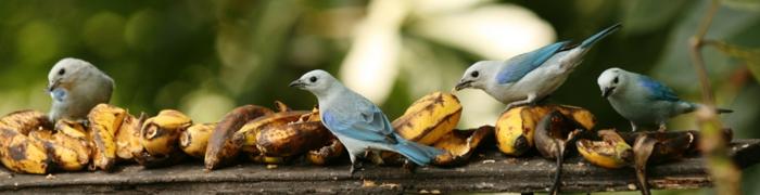 bananen gesund ganzes bild voll bananenschale stücke vogel