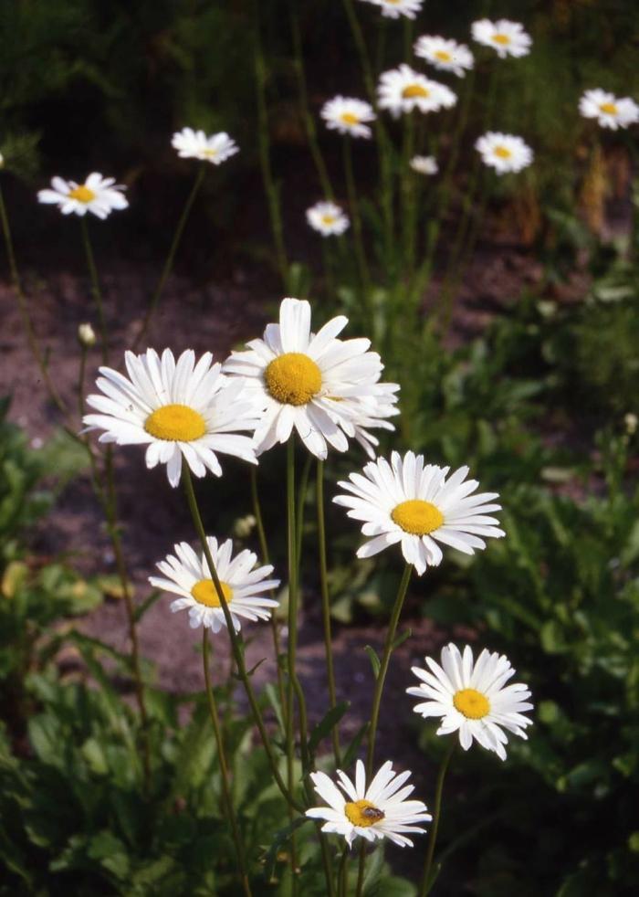 gartenblumen Wiesenmargerite einpflanzen schöne gartengestaltung
