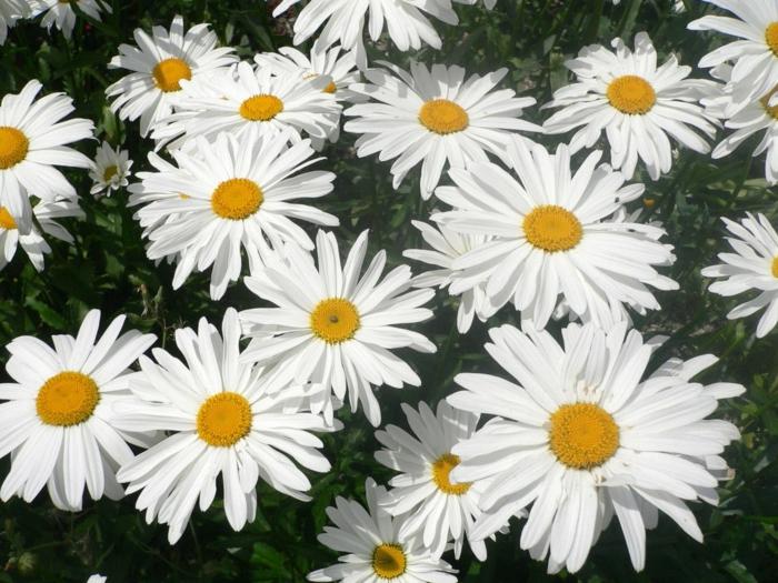 gartenblumen Wiesenmargerite schöne gartenblumen gartenideen