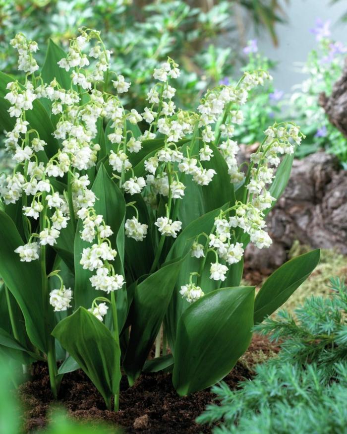 sommerblumen maiglöckchen gartenpflanzen gartenideen
