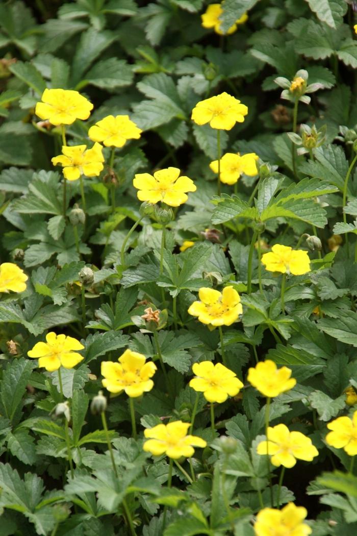 gartenblumen ideen sommer Gold-Fingerkraut