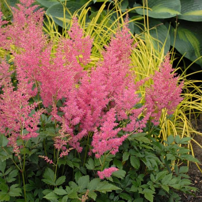 gartenblumen sommer gartenideen gartenpflanzen Prachtspiere