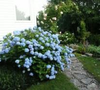 Mit Hortensien Akzente im Garten setzen