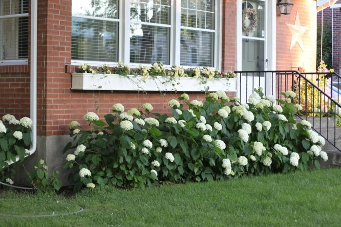 gartenpflanzen hortensie weiß vorgarten gestalten dekoideen ziegelfassade