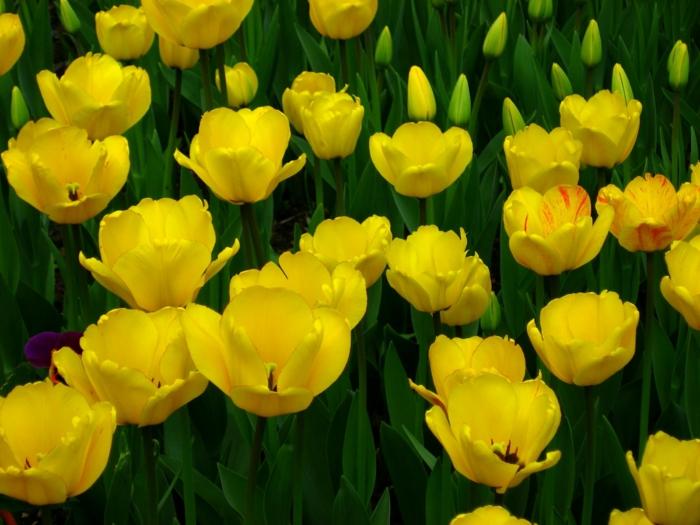 gesund leben gelbe tulpen wirkung phytotherapie
