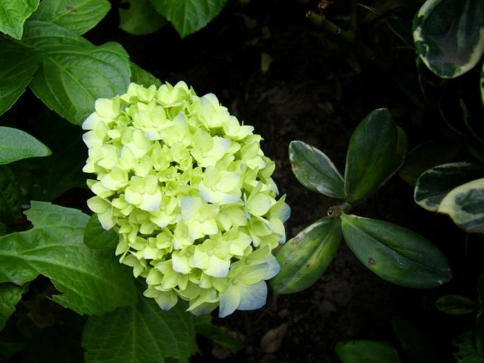 gesund leben phytotherapie hortensien hellgrüne blüten