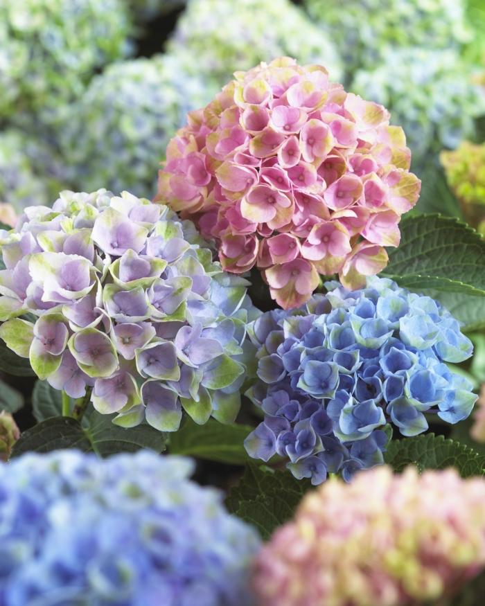 hortensien farben vielfalt heimat pflege tipps