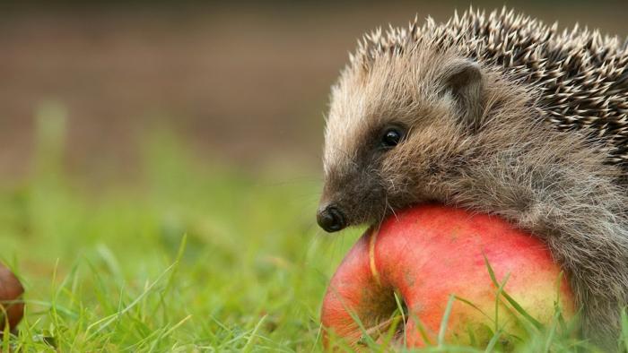 igel im garten fürttern äpfel fressen
