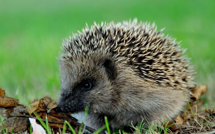 igel im garten tipps tricks füttern wildtiere